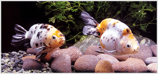 Goldfish Breeding