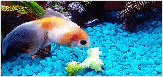 GoldFish Food