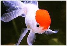 Oranda Little Red Riding Hood Goldfish