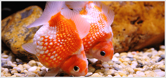 The Origin of the Goldfish Species