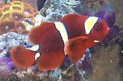 Maroon Clownfish | Information On Maroon Clownfish
